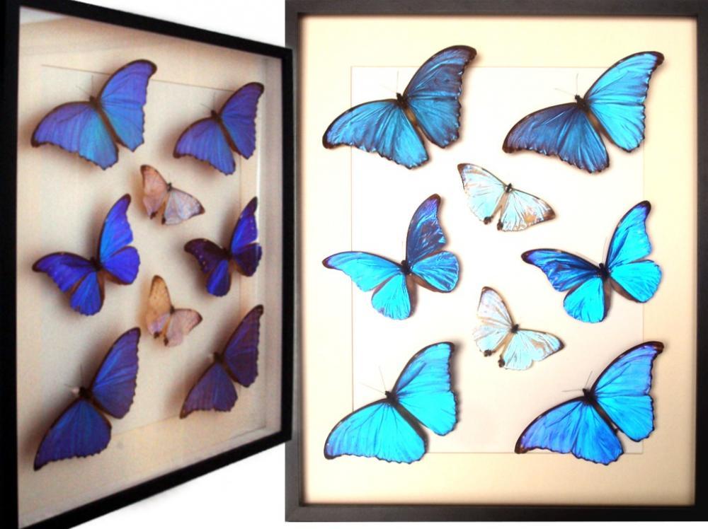 Cuadro Insectos Mariposas Morpho: cacica-didius-sulkowskyi - Tienda ...