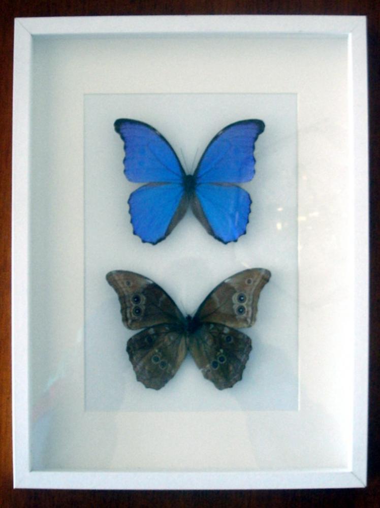 Cuadro Insectos Mariposas Morpho Menelaus Nestiria - Tienda ...