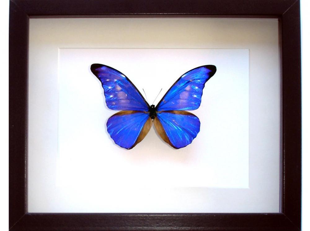 Cuadro Insectos Mariposas Morpho Cacica Paradisiaca - Tienda ...