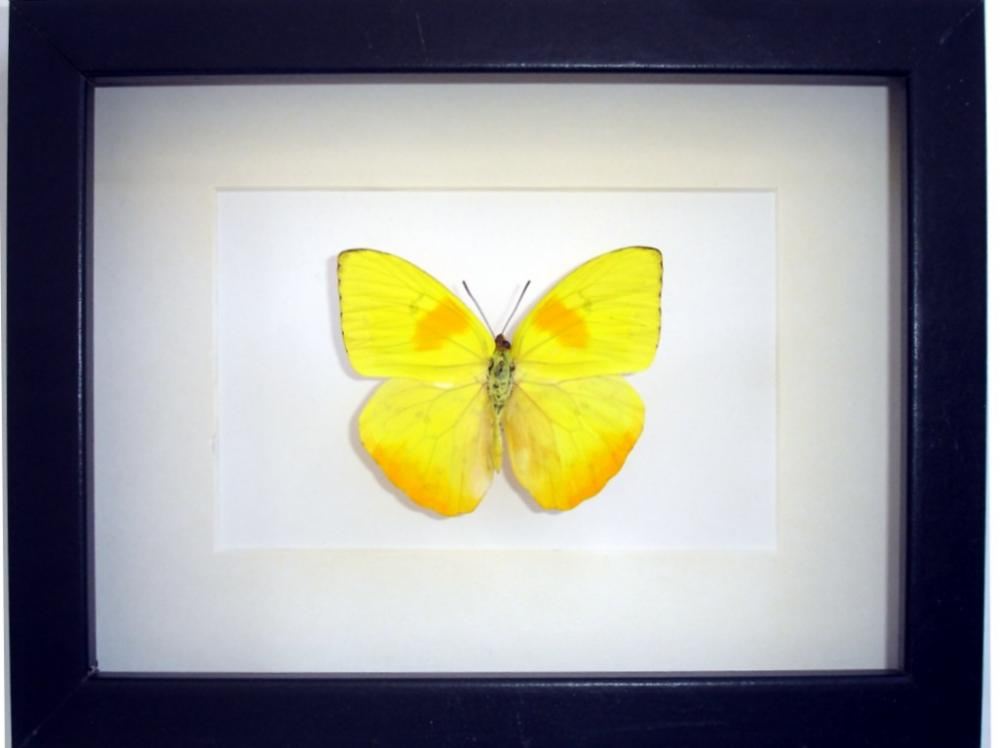 Cuadro Insectos Mariposas Phoebis Philea - Tienda Coleccionismo ...