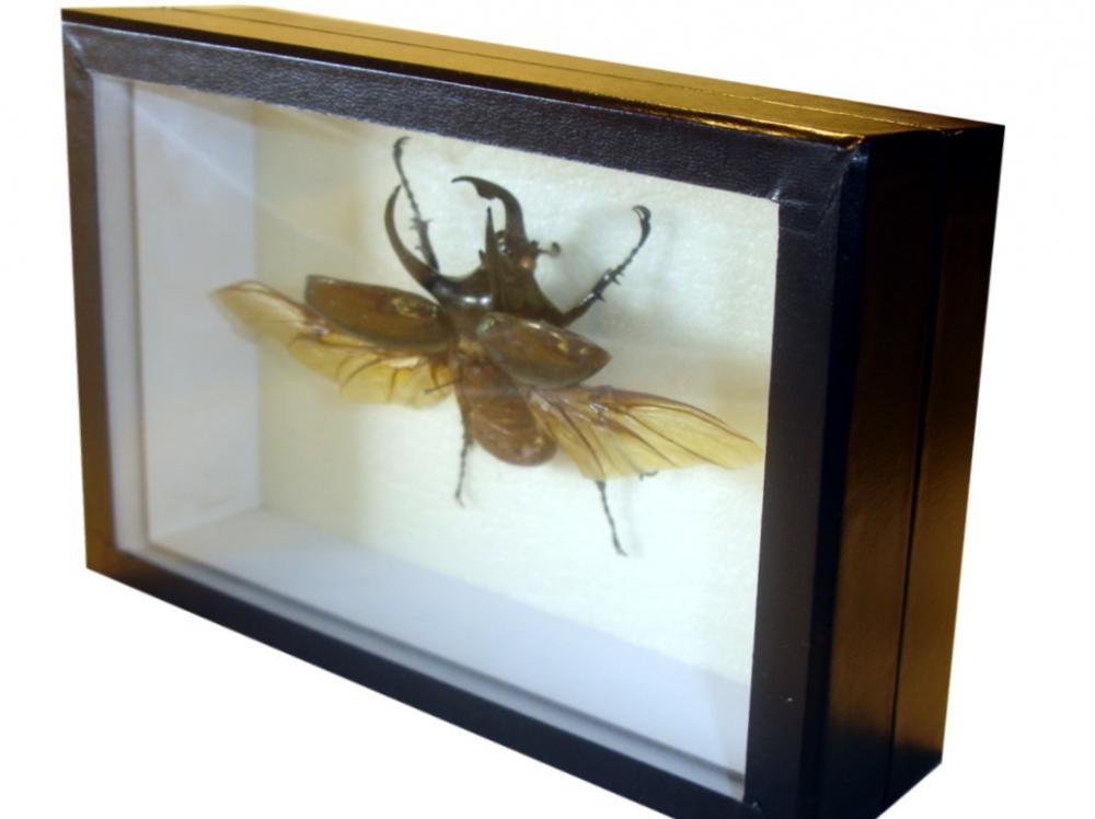 Cuadro Insecto Chalcosoma Atlas - Tienda Coleccionismo Barcelona ...