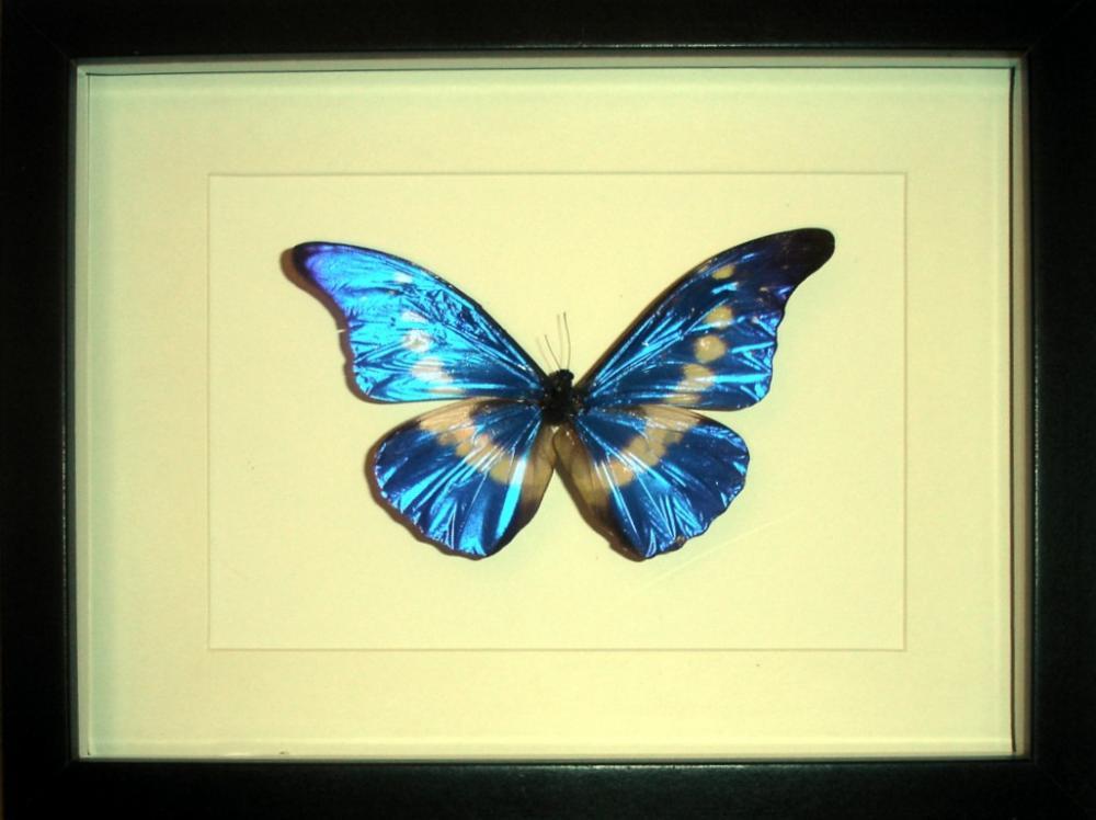 Cuadro Insectos Mariposas Morpho helena - Tienda Coleccionismo ...