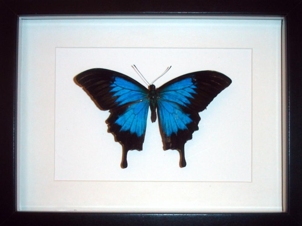 Cuadro Insectos Mariposas Papilio ulysses - Tienda Coleccionismo ...